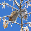 Squirrel On Icy Branches by Doris Potter