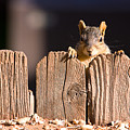 Squirrel On The Fence by James BO Insogna
