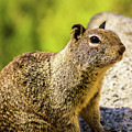 Squirrel On The Rock by Mirko Chianucci