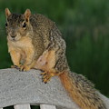 Squirrel by Patrick  Short