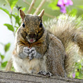 Squirrel Ready To Whistle by Susan Wiedmann