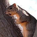 Squirrel With A Nut by Teresa Blanton