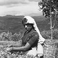 Sri Lanka Tea Plantation by Omar Shafey