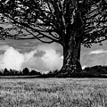 St. Benedict Abbey Single Tree In Summer by Michael Saunders