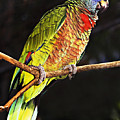St Lucia Parrot by Chester Williams