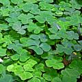 St Patricks Day Shamrocks - First Green Of Spring by Christine Till