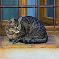 St Paul Cat by Inge Johnsson