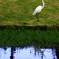 St Thomas Great Egret At The Lake by Charlene Cox