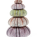 Stack Of Sea Urchins by Elena Elisseeva