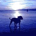 Staffordshire Bull Terrier On Beach by Michael Tompsett