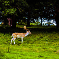 Stag - Ink Photograph by Nigel Dudson