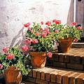 Stairway Of Geraniums by David Lloyd Glover