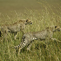 Stalking Cheetahs by Michele Burgess