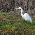 Stalking Egret by Frank Wilson