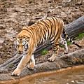 Stalking Tiger - Bengal by Douglas Barnett