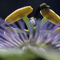 Stamen Of A Passionflower by Sami Sarkis