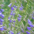 Stand Of Bluebells by Barbara St Jean