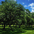 Stand Of Oaks by Debra Martz