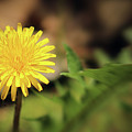 Stand Out - Dandelion by Douglas Milligan