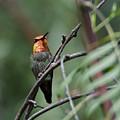 Standing Guard -- Anna's Hummingbird In Templeton, California by Darin Volpe