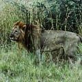 Standing Lion by Karen Zuk Rosenblatt