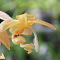 Stanhopea Orchid by Judy Whitton