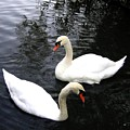 Stanley Park Swans by Will Borden