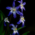 Star Flower by Gordon Longmead