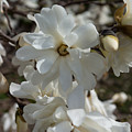 Star Magnolia Blooms by Jennifer White