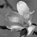 Star Magnolia In Black And White by Suzanne Gaff