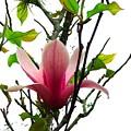 Star Magnolia by Judy  Waller