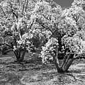 Star Magnolia Trees by Chris Scroggins