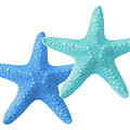 Starfish Blue And Turquoise On White by Gill Billington