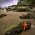 Starfish On The Rocks by Inge Johnsson