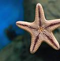 Starfish by Sergei Dolgov