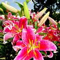 Stargazer Lilies #2 by Ed Weidman