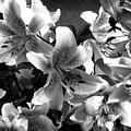 Stargazer Lilies Bw by Barbara Griffin