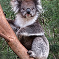 Staring Koala by Helaine Cummins