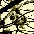 Staring Squirrel by Emily Kemp