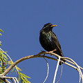 Starling by Jean Noren