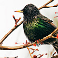 Starling by Marcia Colelli