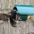 Starling On Bird Feeder by Gordon Auld