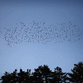 Starlings And Pines by John Meader