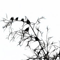 Starlings by Lawrence Christopher