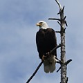Stately Eagle by Shirley Stevenson Wallis