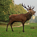 Stately Stag by Dawn OConnor