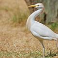 Stately Walking Cattle Egret by Nick Biemans
