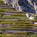 Steep Slope Viticulture In Valais Canton by Werner Dieterich