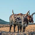 Steers In The Desert by Andrew Lelea