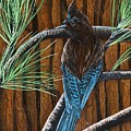 Stellar Jay by Jennifer Lake